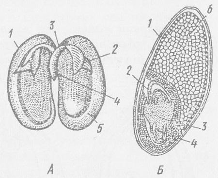 Схема строения семени фасоли