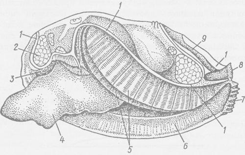 Схема строения беззубки