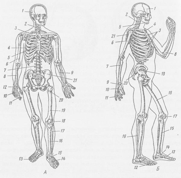 Скелет человека: А - вид
