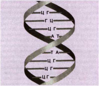 Структура ДНК (фрагмент).