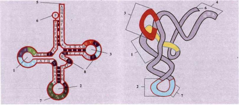 Молекулы тРНК имеют четыре